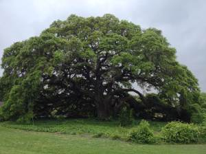 2014-04-17 Flatonia, TX Live Oak Tree - Photo by Kaiba White
